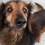 犬の年齢早見表と成長期について
